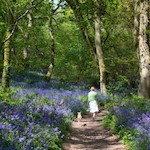 Woman walking through bluebell woods - Wonderful bluebell walks, by Adrienne Wyper