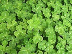 shamrock - cottagegardenplantsdirect.co.uk